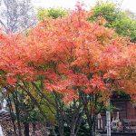 紅葉の季節です