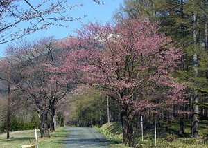 狩勝高原 旧国道の桜