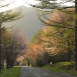 旧国道38号線の桜並木