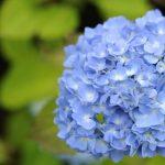 アジサイ花の季節