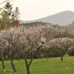 桜が散って梅が咲き