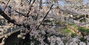 元住吉川沿いに咲く桜