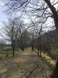 ポッポ道の桜