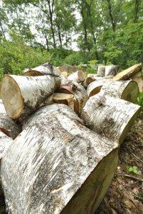 伐倒されたシラカバ