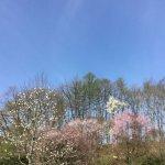 隣の隣のお家のコブシと桜