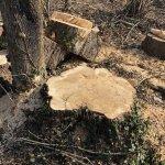 ヤナギの伐採跡