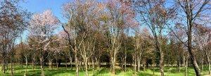MTさんの桜の林